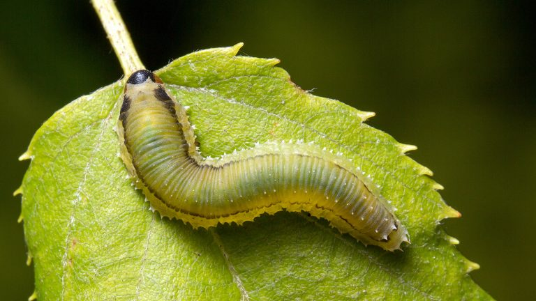 Birch sawfly larva feeding on foliage (Matt Bertone 2014)