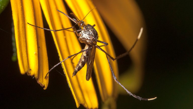 Male elephant mosquito - Toxorhynchites rutilus on flower (Matt Bertone 2013)