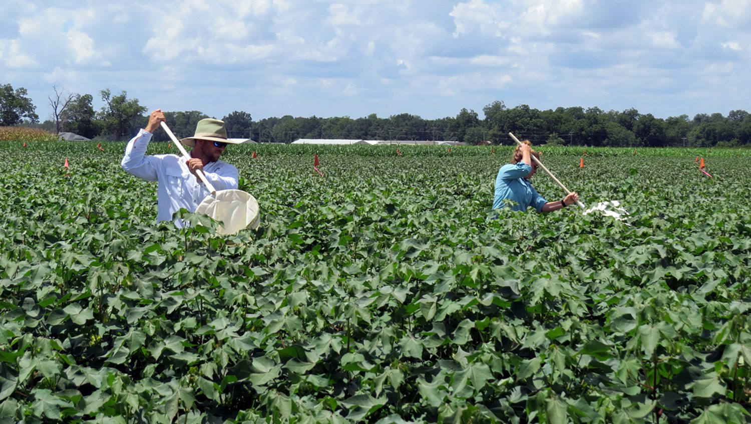 Sweep net sampling in a cotton field