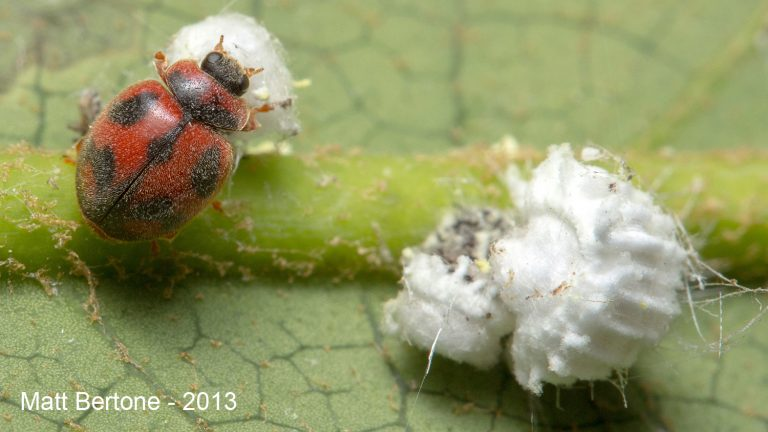 Vedalia beetles attacking cottony cushion scale (Matt Bertone- NCSU)