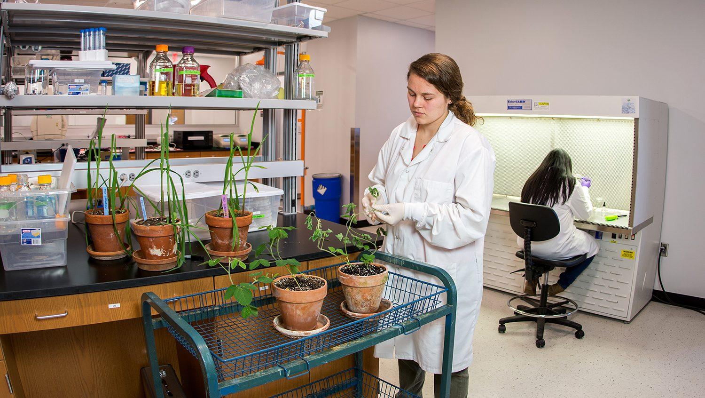 lab bioassays of soybean pathogens (M. Bertone - NCSU)