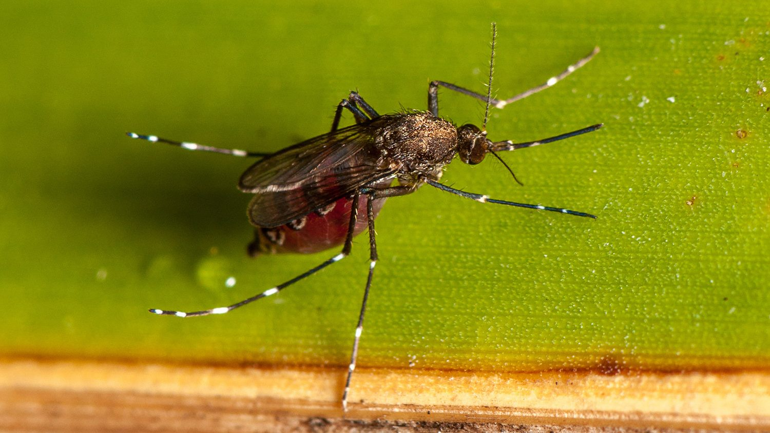 Female culicid mosquito after taking a blood-meal (M. Bertone, NCSU)