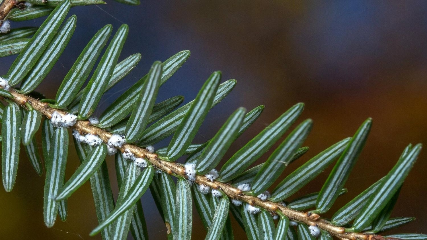 Hemlock woolly adelgid, a sap-sucking insect.