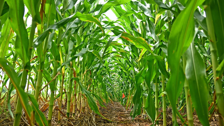 Corn in a Rowan County field