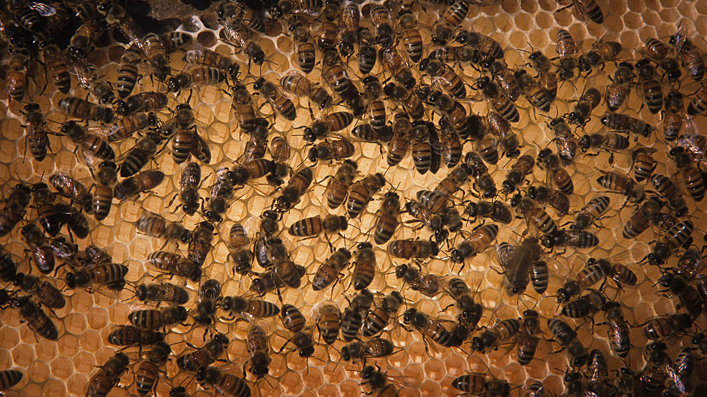 Commercial bees face some challenges, but providing more nutrition to traveling bees may mitigate those challenges. Photo courtesy of NC State University.