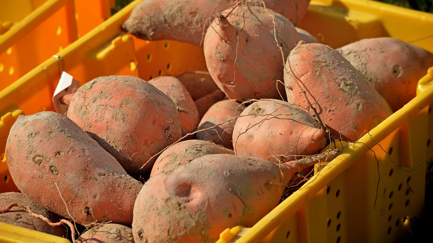 sweet potatoes in crate