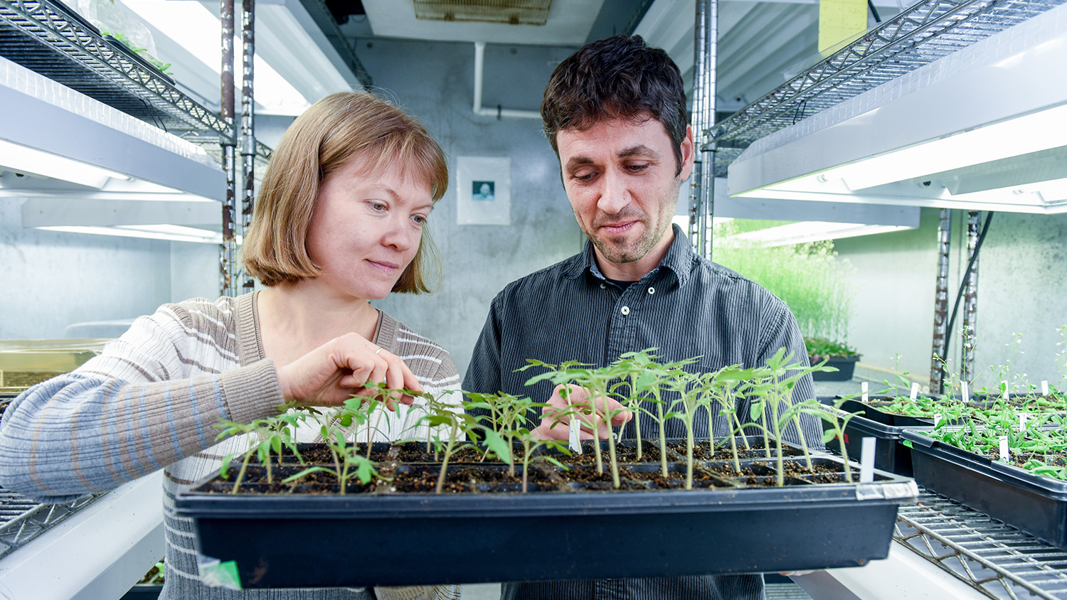 Two researchers in chamber holding a tray of tomato seedlings of different heights.