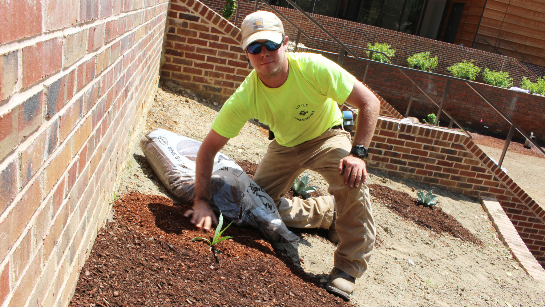 Student near brick walls spreading pine bark mulch around a plant.