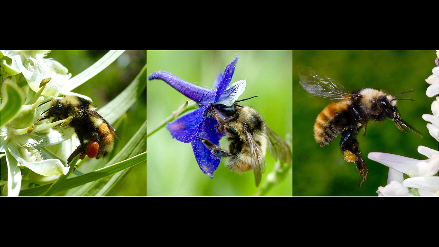New bumble bee research shows that extended flowering seasons due to climate change have detrimental effects on our native pollinators. Photo courtesy of  Jane Ogilvie.