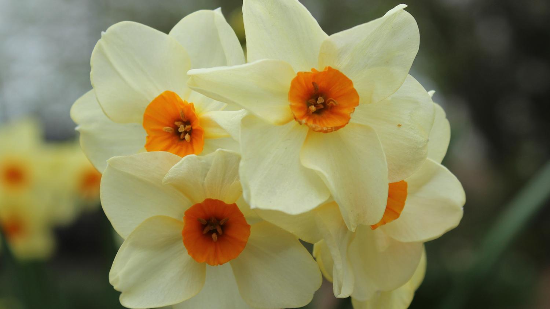 Cluster of four Narcissus 'Halvose' Tazetta