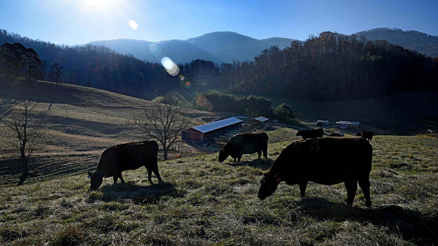 Three cows grazing, with mountains in the background