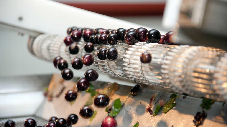 Muscadine grapes on a conveyor belt
