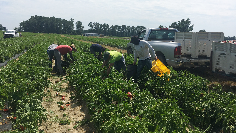 Six men harvesting peppers in a field.