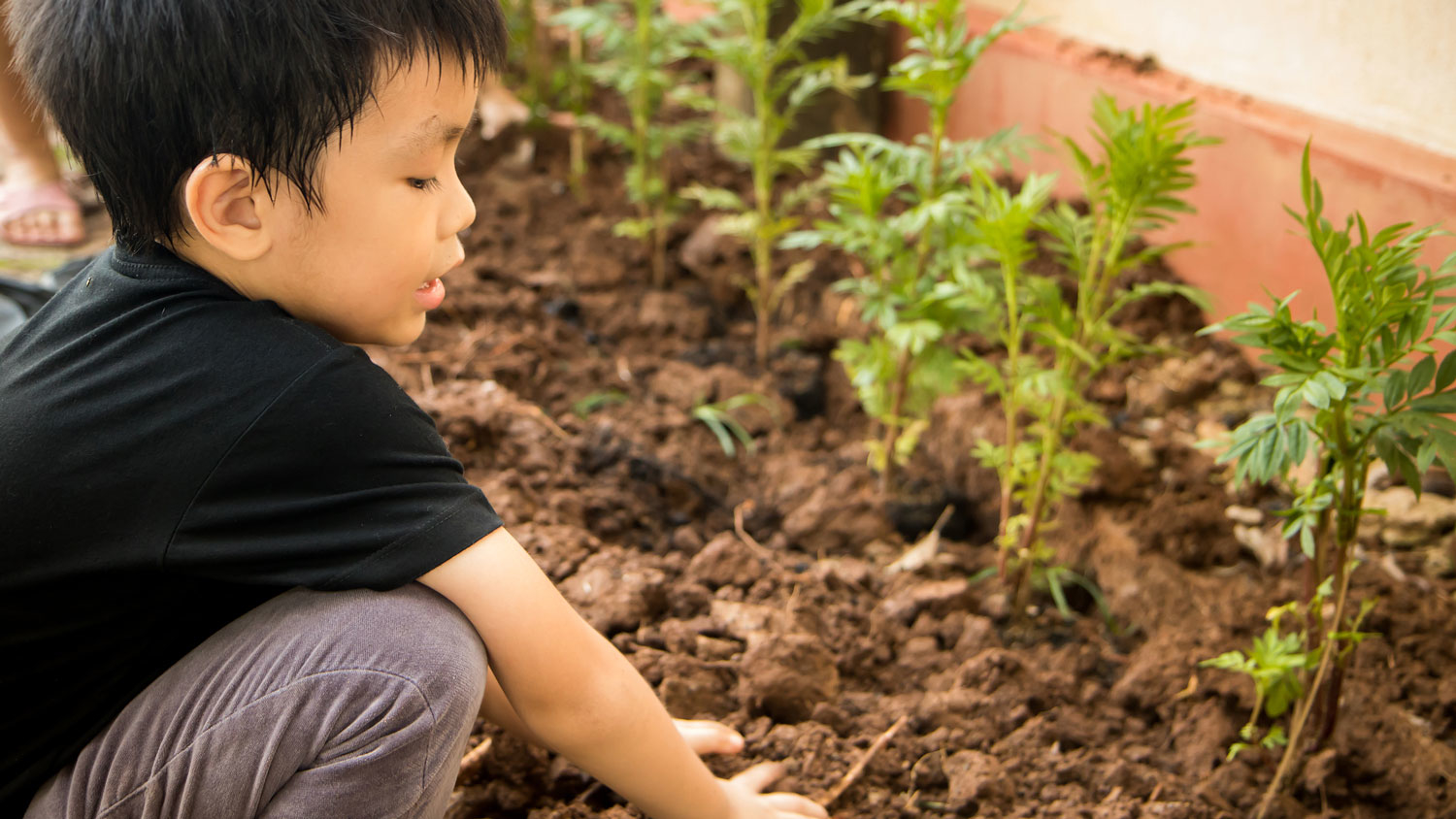 A young boy in a garden planting greens