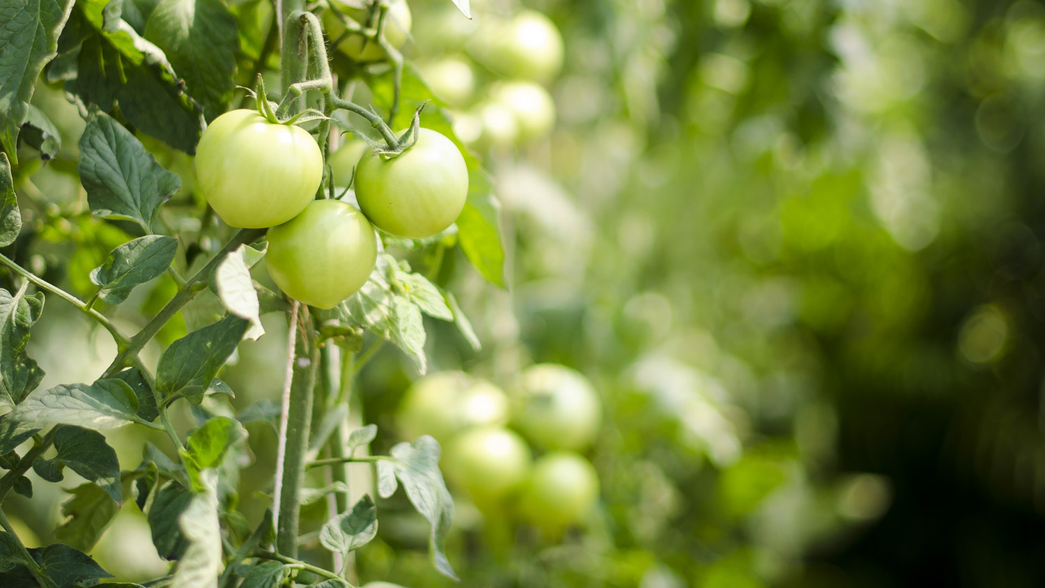 field of green tomatoes