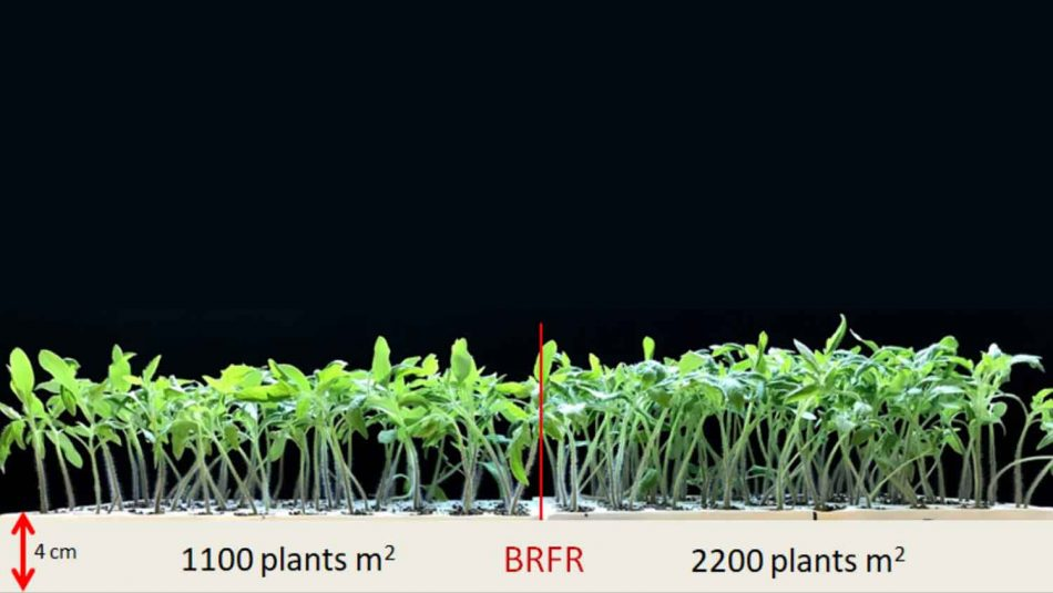 Effect of plant density on the total height of seedlings with the addition of far-red