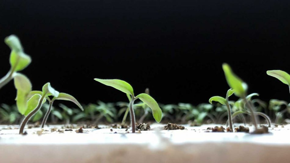 Young tomato seedlings at 6 days after sowing.