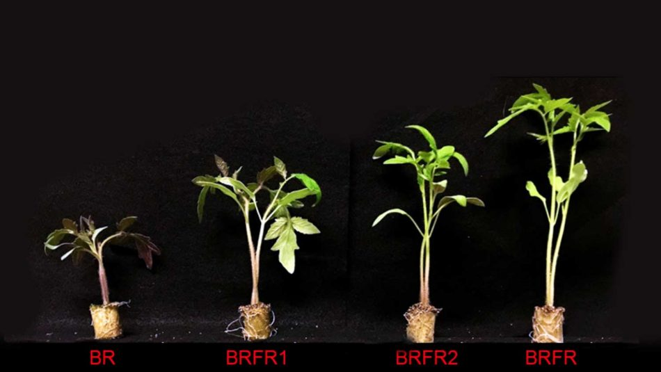 Effect of dynamic spectral treatments of far-red light on plant height of tomato seedlings.