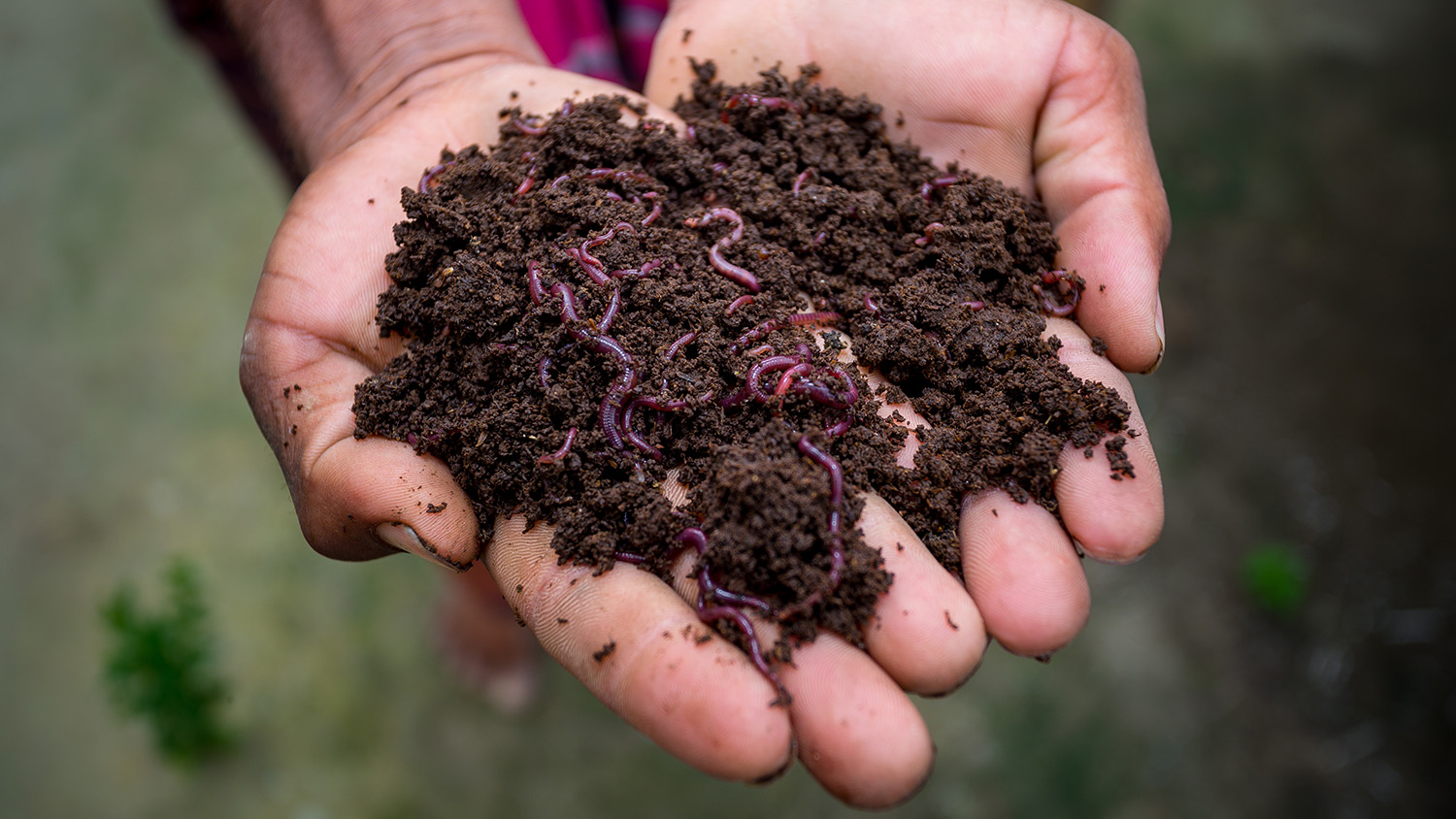 Hand holding compost with redworms. A farmer showing the worms in his hands at Chuadanga, Bangladesh.