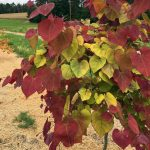 Cercis (NC2016-2) Flame Thrower™
