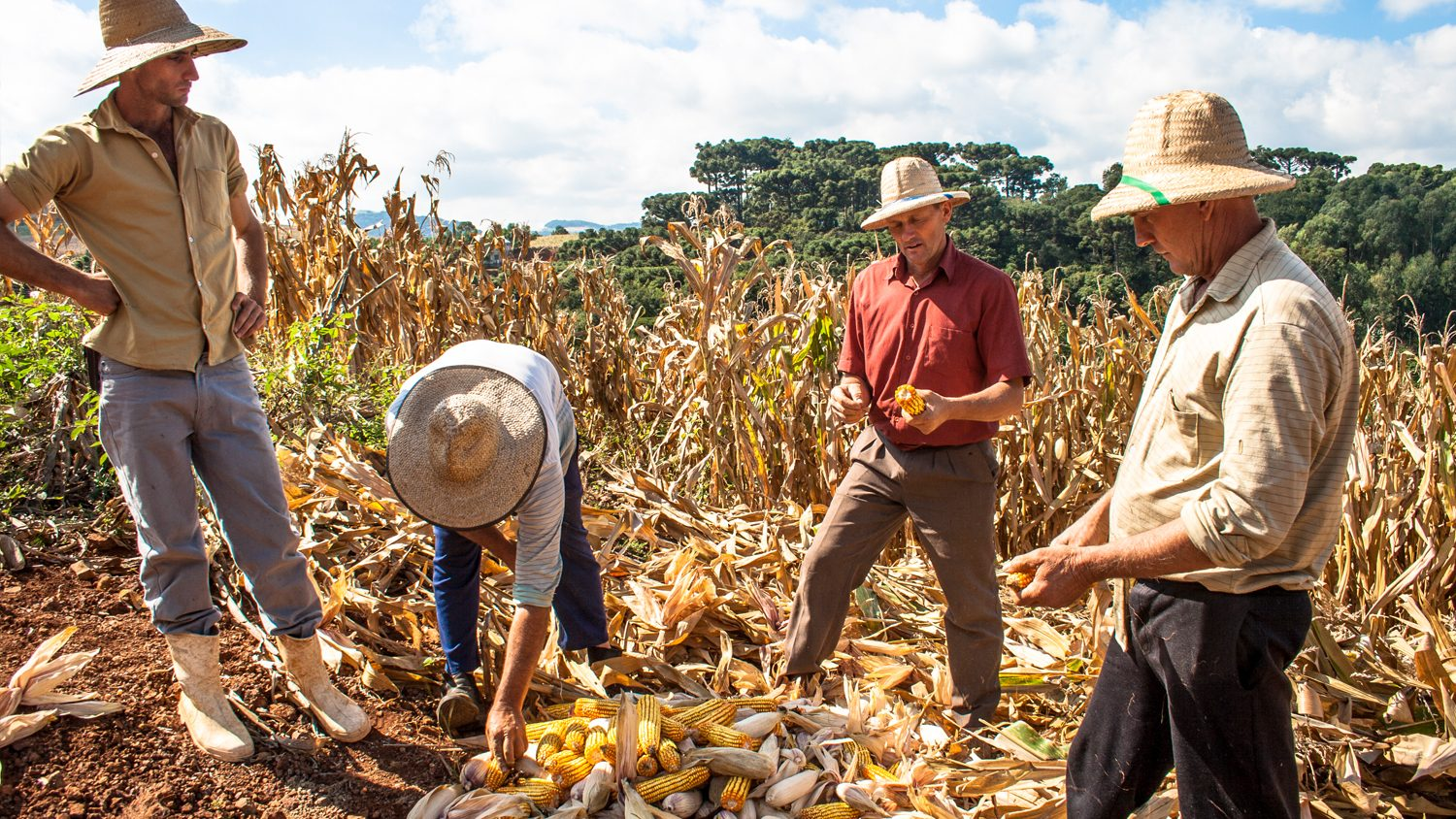 Farmers and researchers inspect corn harvest in Brazil
