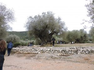 The olive orchard near Sant Mateau and a likely contributor to the olive coop. Estimated to have been planted by the Moors 500-700 years ago?