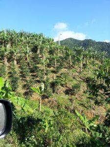 Sun coffee plantation in Utuado, Puerto Rico