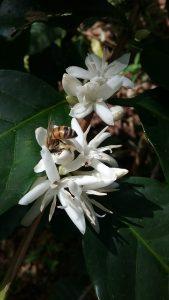 Honeybee foraging on a blooming Coffea arabica flower