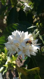 Honeybee foraging on a blooming Coffea canpehora Flower
