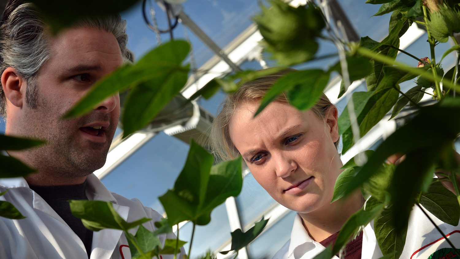 Two students looking at cotton plants.