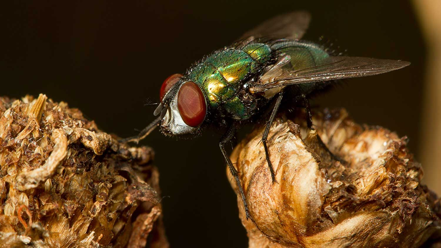Insect, the Australian sheep blowfly