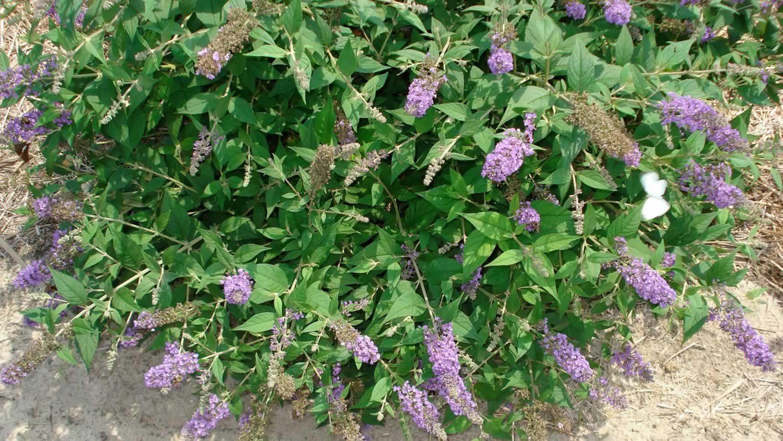 Buddleja 'Blue Chip' (Butterfly Bush)