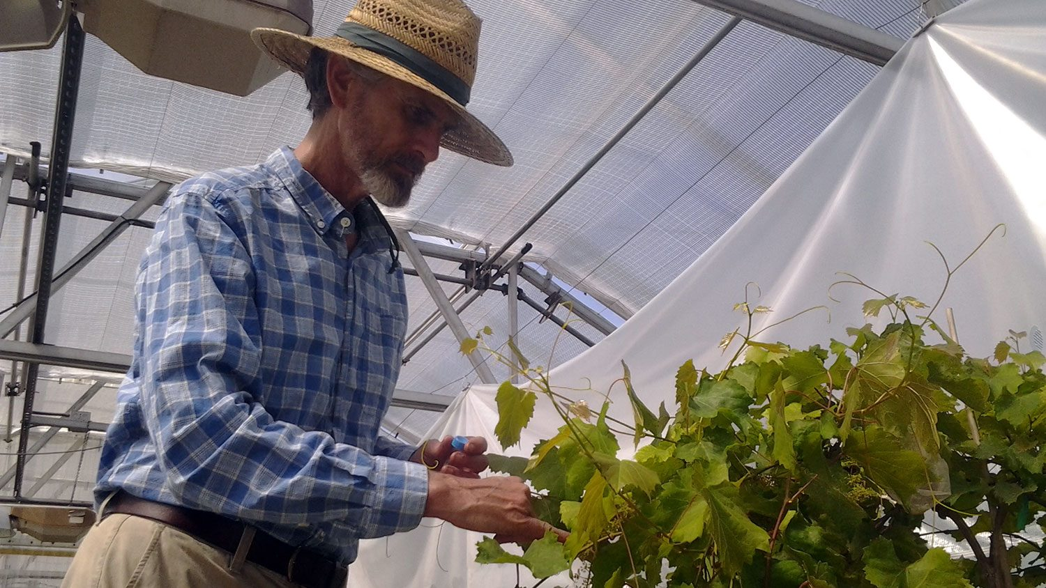 Terry Bland , Extension Researcher, crossing grape cultivars