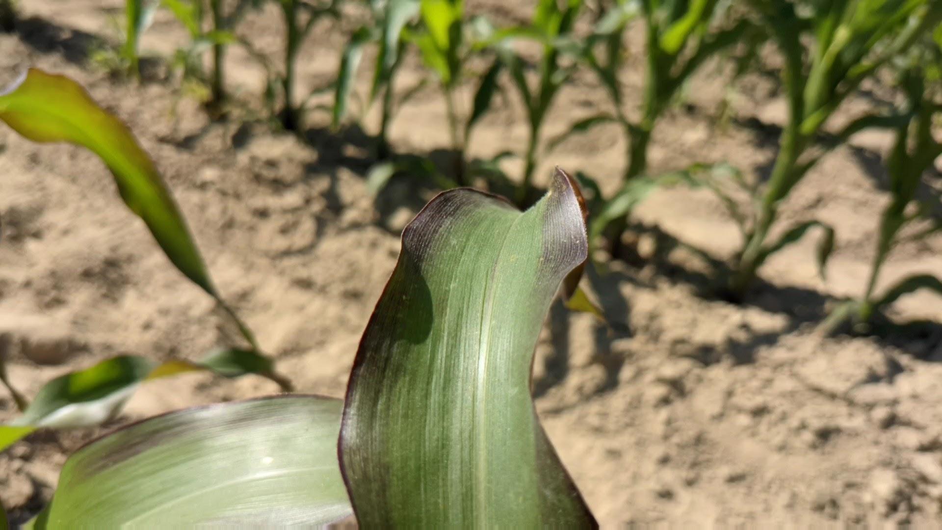 A plant experiencing phosphorus deficiency