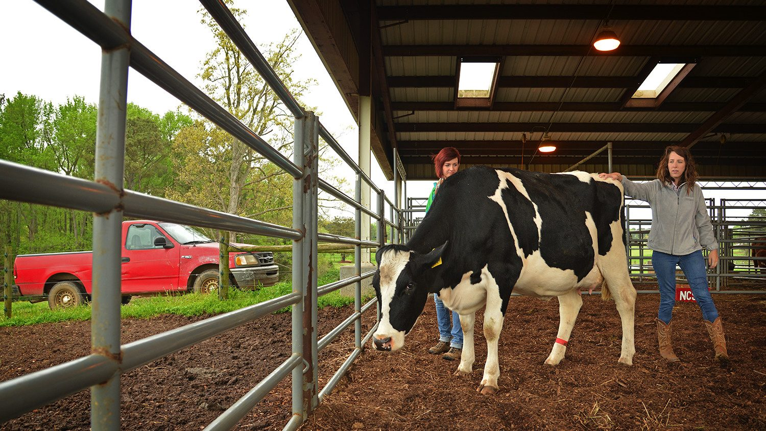 Students tending to a cow in a barn.
