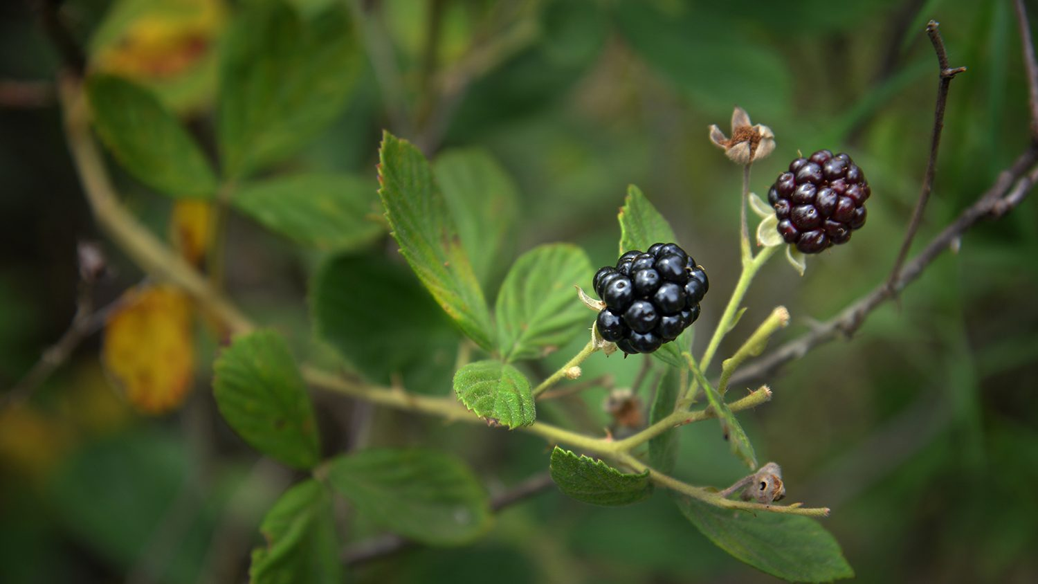 close up of wild blackberries in Hoffmann Forest.