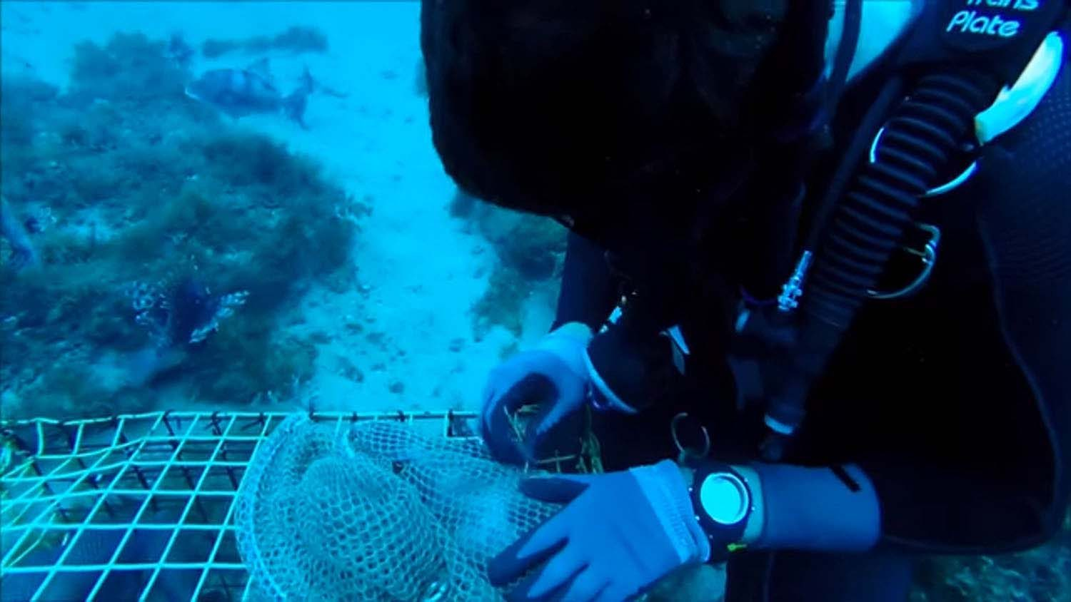 NC State researcher underwater tagging fish.