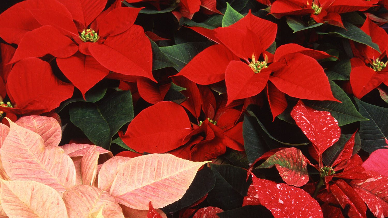 close up of poinsettia plants