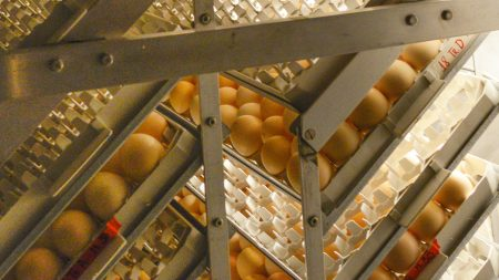 Eggs in an incubation machine