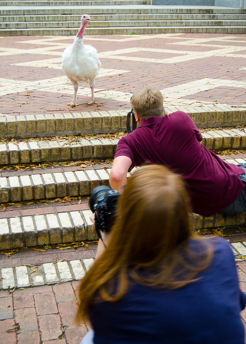 two photographers taking a picture of a white turkey hen
