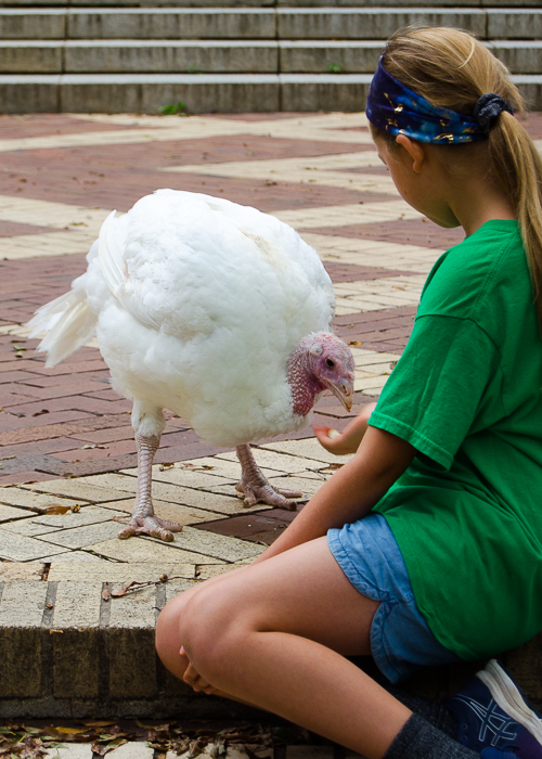a white turkey hen eating from a girl's hand