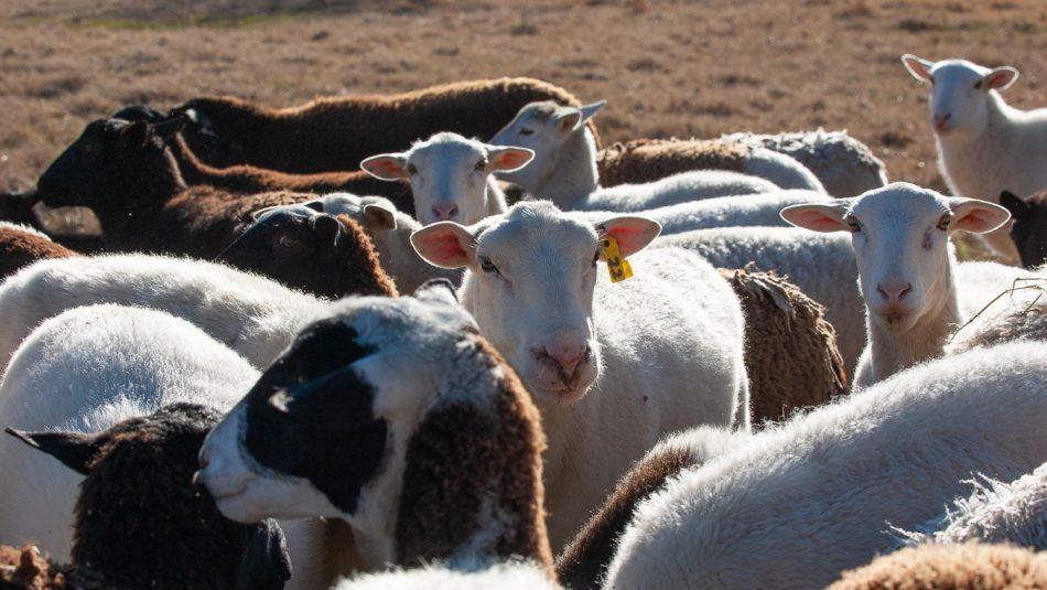 Sheep outside