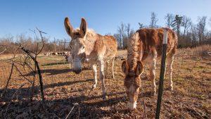 Two donkeys outside