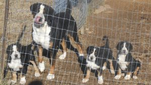 Great Swiss Mountain dog and three puppies