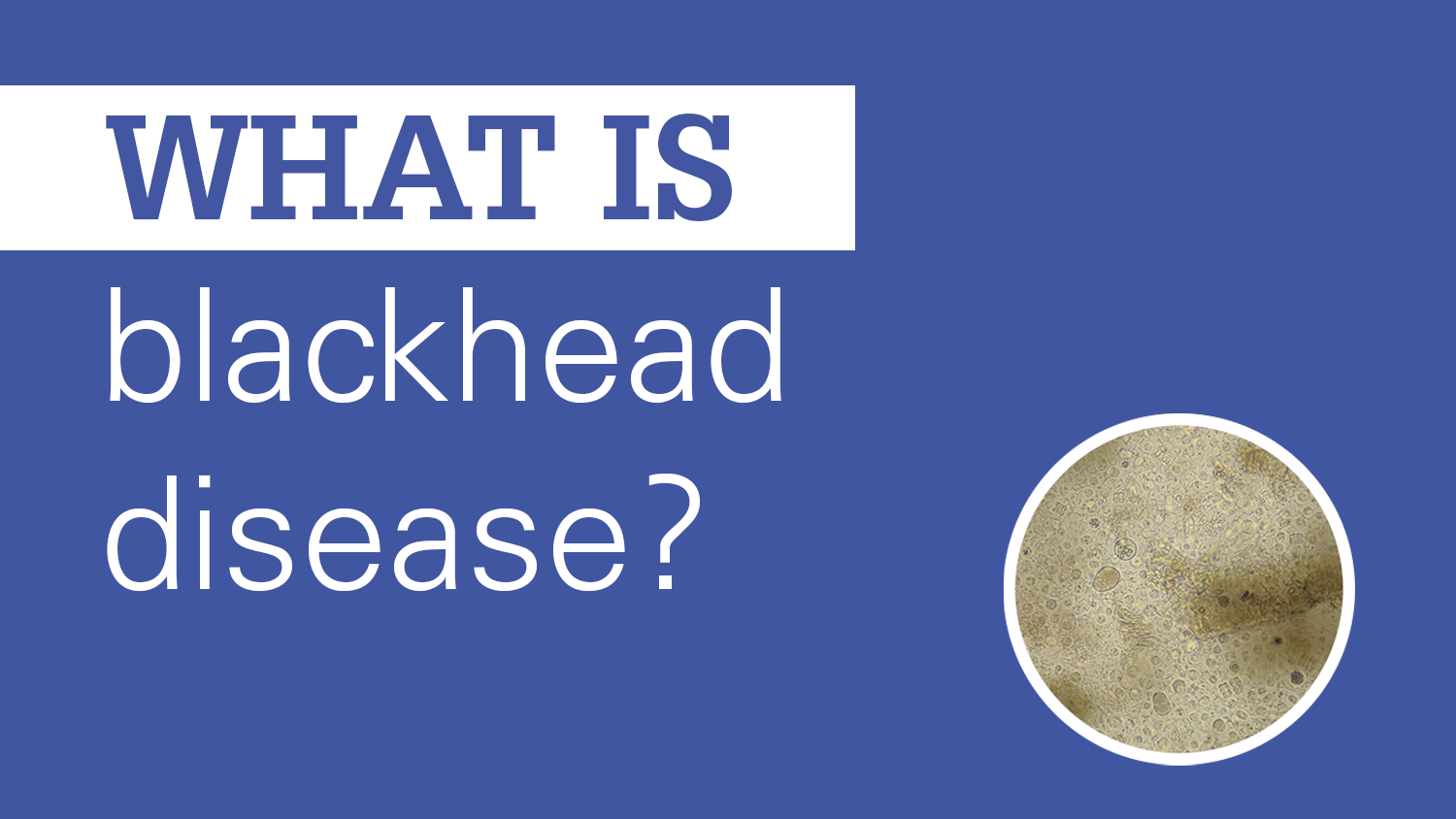 blue background with question 'what is blackhead disease?' and a circular image of histomonas