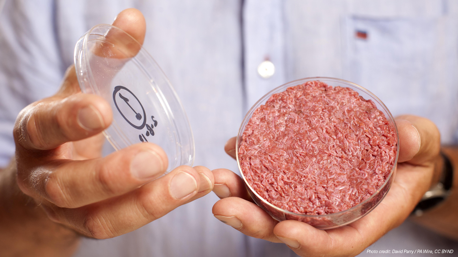 two hands holding cultured beef in a petri dish and the petri dish lid, photo credit David Parry PA Wire