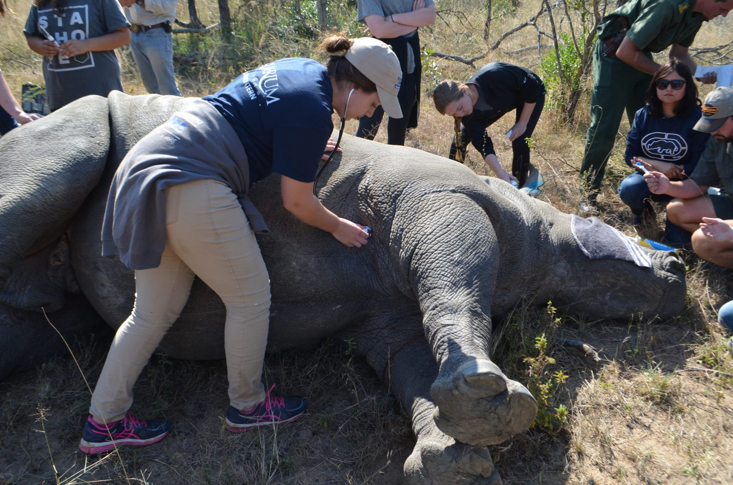 Pre-Vets working with a rhinos in South Africa