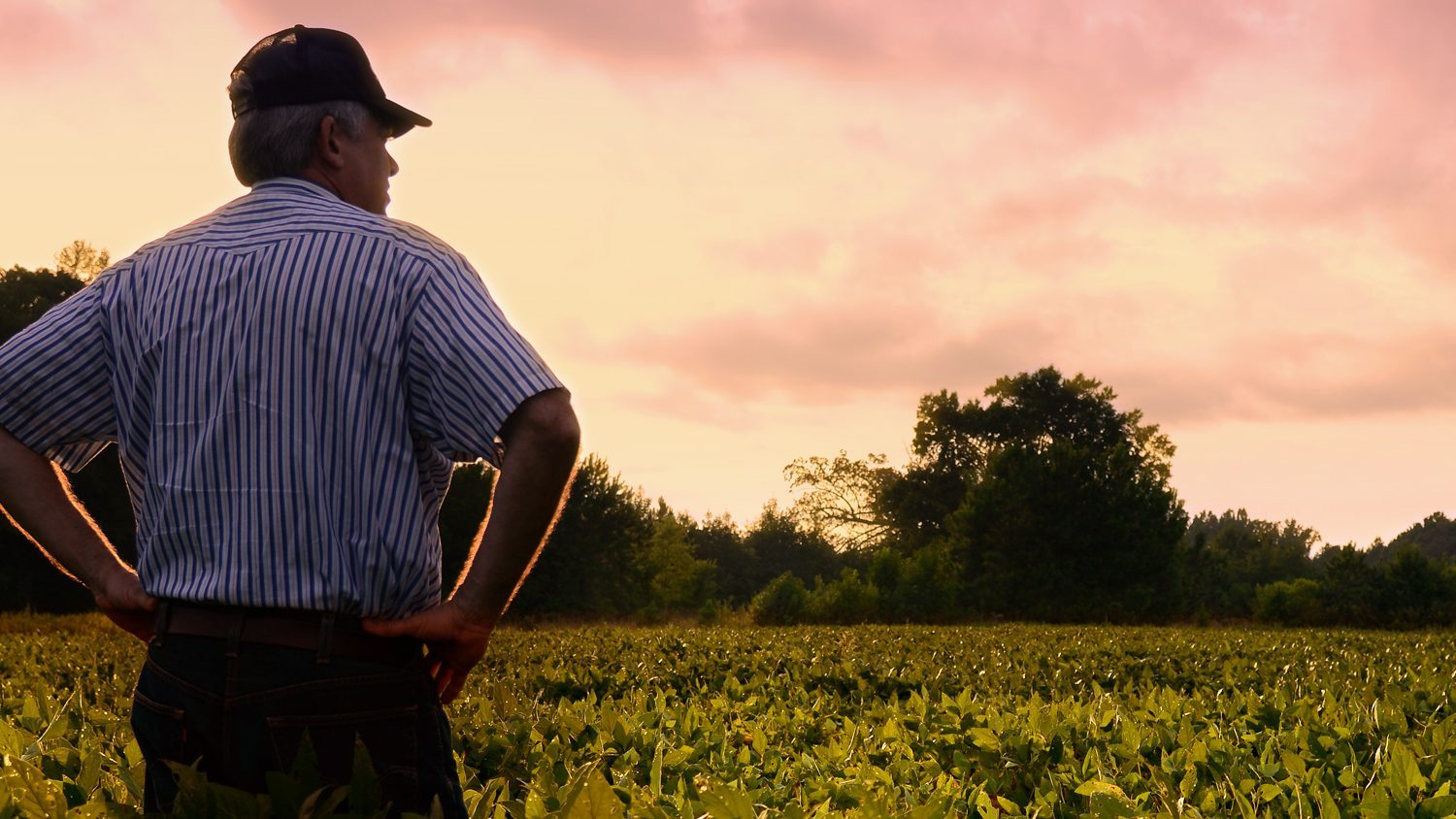 A North Carolina farmer checks his soybean field at dawn.