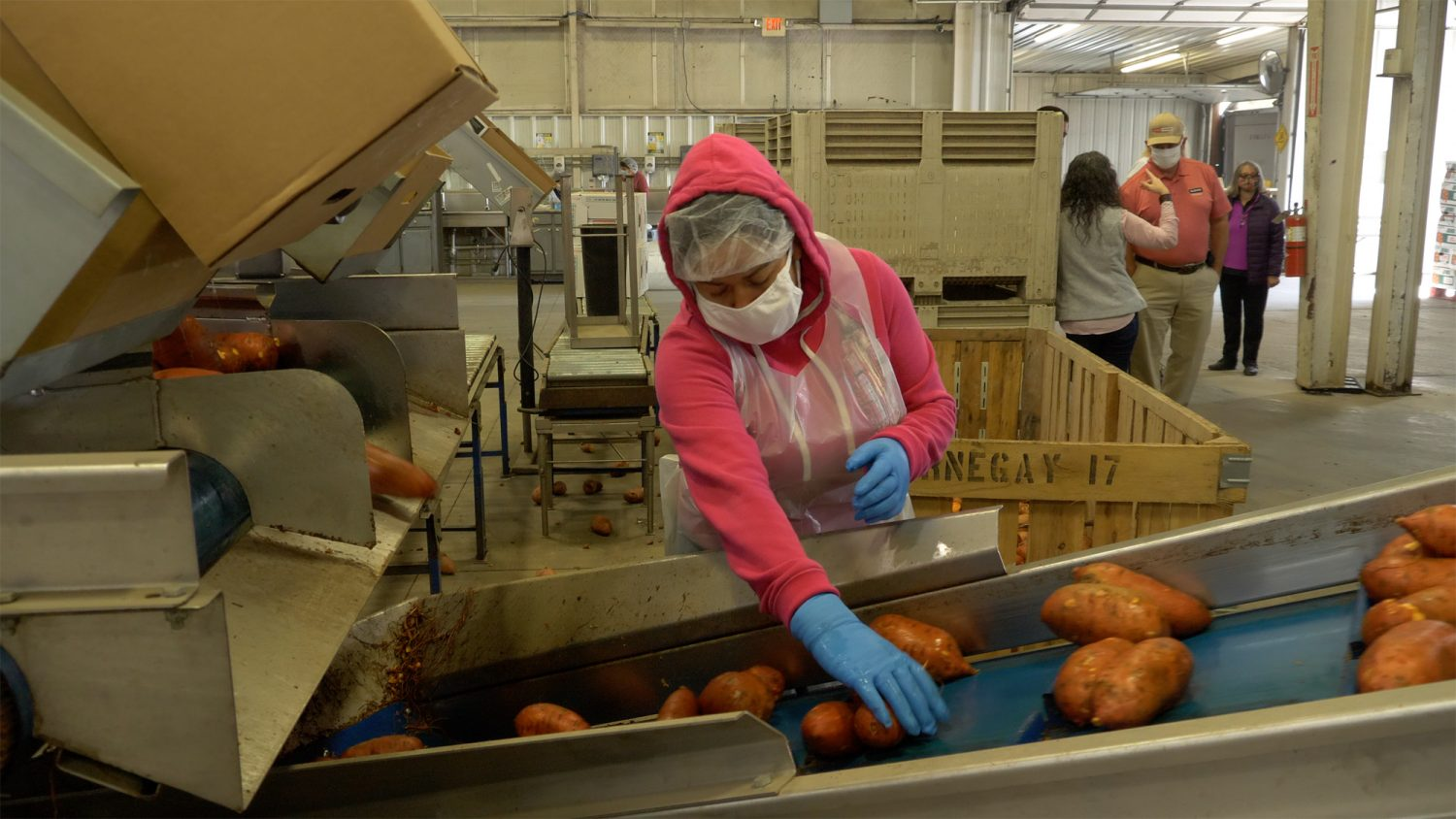 A female employee wearing a face mask and gloves sorts sweet potatoes on a conveyor belt in a food packaging facility.