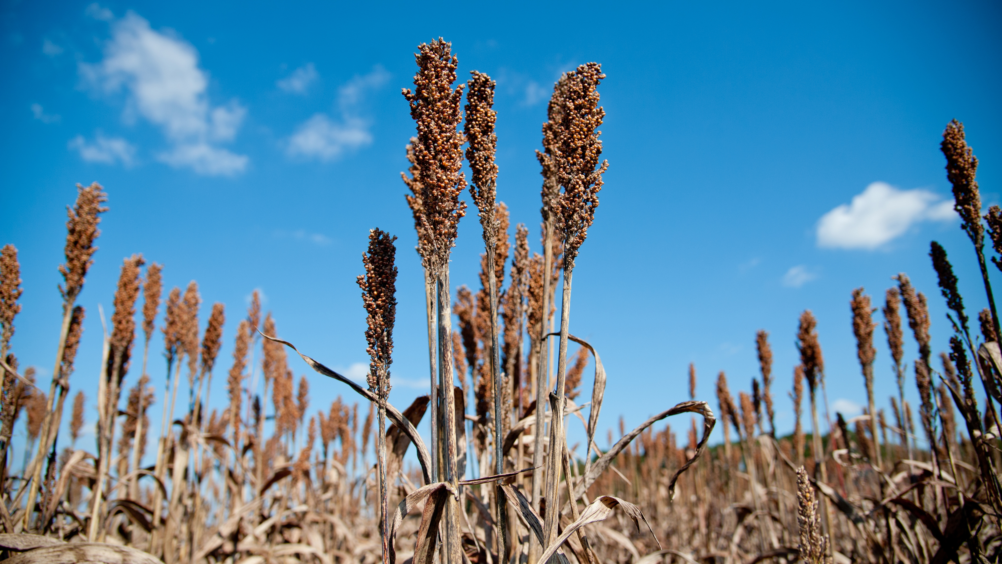 Field of sorghum ready for harvest.